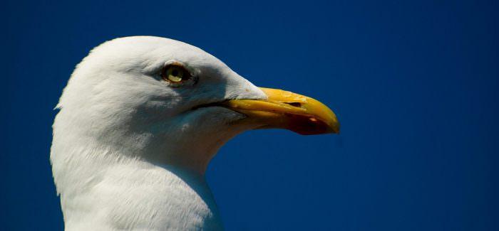 Do Brighton's Seagulls Pose a Real Threat?