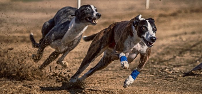 Greyhound racing: What's the truth?